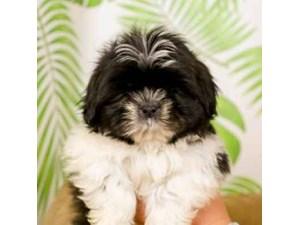 Shih Tzu-DOG-Male--2473145