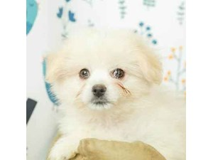 Pomachon-DOG-Female-CREAM-2473021
