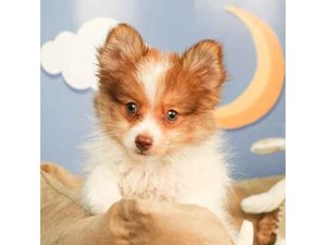 Pomeranian-DOG-Male--2473046