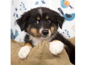 Australian Shepherd-DOG-Female-Black and White-2465174