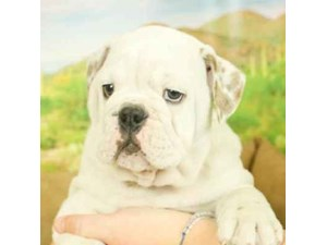 English Bulldog-DOG-Male--2472986