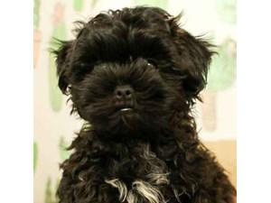 Malshi-DOG-Male-BLACK-2472922