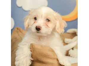 Mauxie-DOG-Male-SPOTTED CREAM-2472926