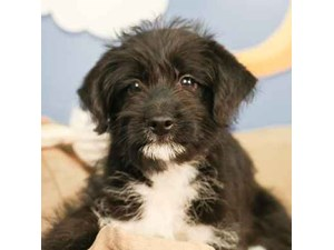 Poo-Shi-DOG-Female--2472924