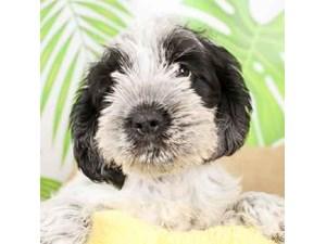 Schnocker-DOG-Female-BLACK WHITE-2472919