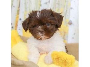 Shih Tzu-DOG-Male-CHOC/WHT-2472945
