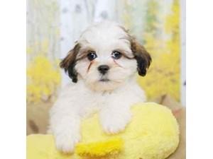Teddy Bear-DOG-Male-GOLD/WHT-2472941