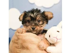Yorkie-DOG-Male--2472995