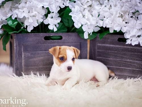 Grand Rapids Jack Russell Terrier Dog Adoption Grand Rapids, MI