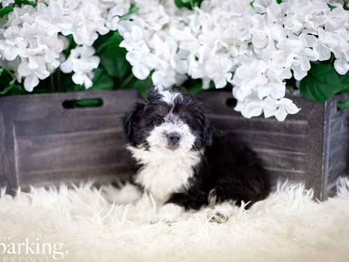 Grand Rapids Aussiepoo Dog Adoption Grand Rapids, MI