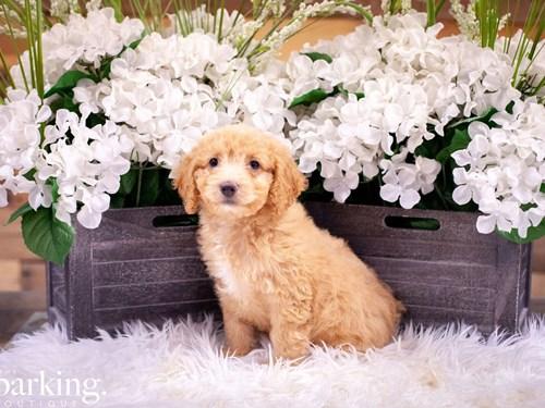 Grand Rapids F1B Mini Goldendoodle Dog Adoption Grand Rapids, MI