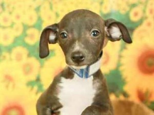 Italian Greyhound-DOG-Female-SEAL-2499002