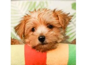 Morkie-DOG-Male--2473359