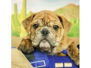 English Bulldog-DOG-Male--2473274
