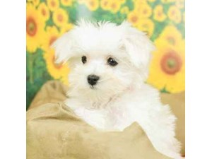 Maltese-DOG-Male--2499076