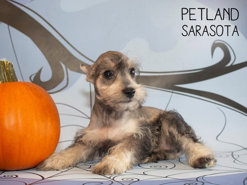 Miniature Schnauzer-DOG-Female-SALT PEPPER-2496712