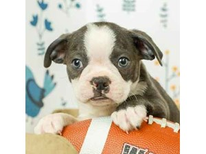 Boston Terrier-DOG-Male--2473239