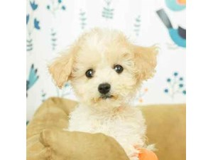 Cavapoo-DOG-Male-BLEM WH-2473250