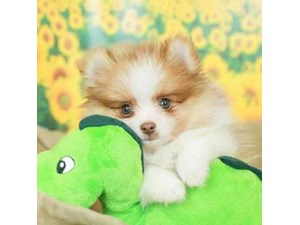Pomeranian-DOG-Male--2499155