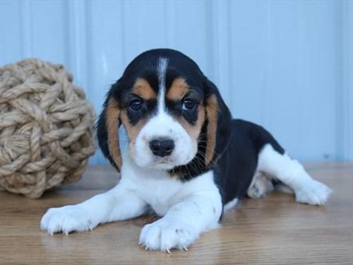 Grand Rapids CavaBea Dog Adoption Grand Rapids, MI