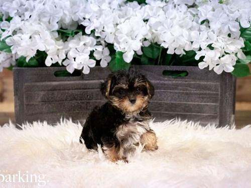 Grand Rapids Yorkiepoo Dog Adoption Grand Rapids, MI