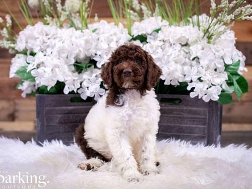 Grand Rapids Standard Poodle Dog Adoption Grand Rapids, MI