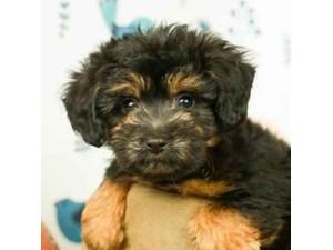 Aussiedoodle-DOG-Male-BLACK/TAN-2473246