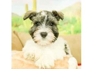 Mini Schnauzer-DOG-Male-BLACK/WHITE/PARTI-2473261