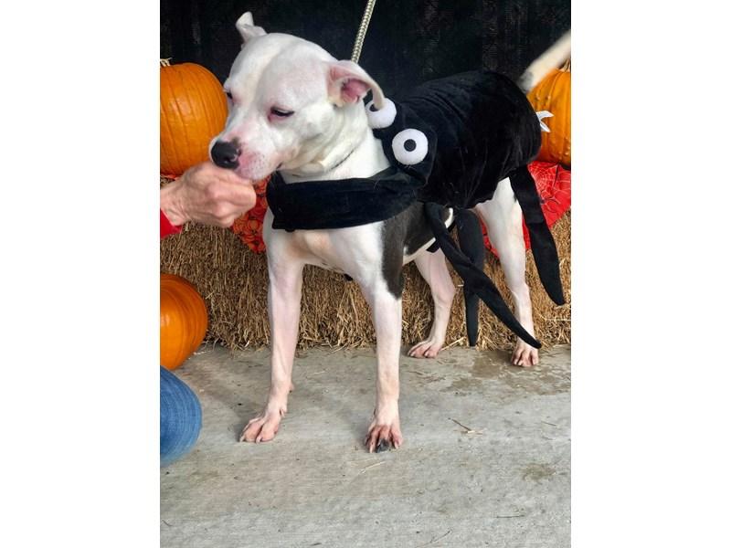 American Pit Bull Terrier-DOG-Male-black,white-2381594-img3