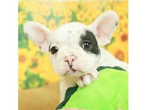 French Bulldog-DOG-Male-WHT/BLK MKGS-2499162