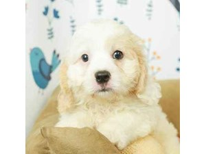 Cavachon-DOG-Male-CRM/WHT-2473234
