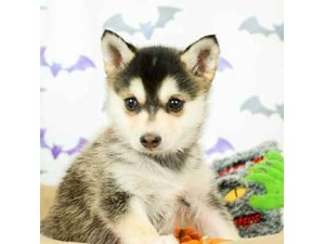 Klee Kai-DOG-Male-BLK/SILVER-2514167
