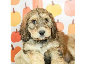 Bernedoodle-DOG-Female-SABLE-2514180