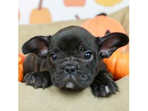 French Bulldog-DOG-Male--2514179