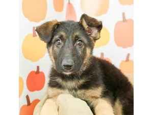 German Shepherd-DOG-Male-BLK/TAN-2514182