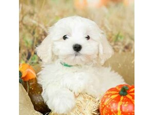Havanese-DOG-Female-WHITE-2514189