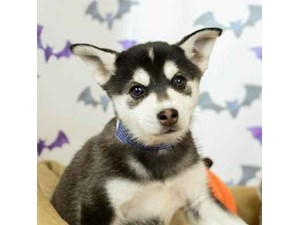 Klee Kai-DOG-Male-BLK/SILVER-2514188