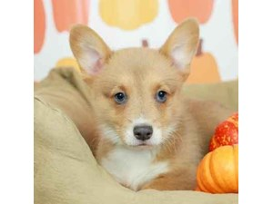 Pembroke Welsh Corgi-DOG-Male--2514174