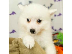 American Eskimo-DOG-Male-WHITE-2514079