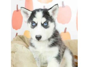 Siberian Husky-DOG-Male--2514178