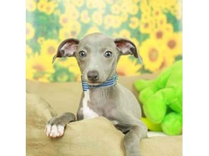 Italian Greyhound-DOG-Female-BLUE/WHT-2499179