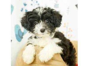 Aussiedoodle-DOG-Female-BLACK WHITE MARKING-2473247
