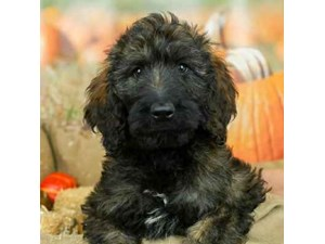 Goldendoodle-DOG-Male--2514207