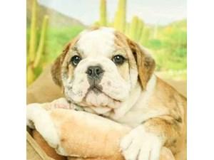 English Bulldog-DOG-Male--2473273