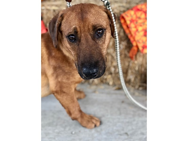 Mixed Breed-DOG-Male-Reddish brown-2512050-img2