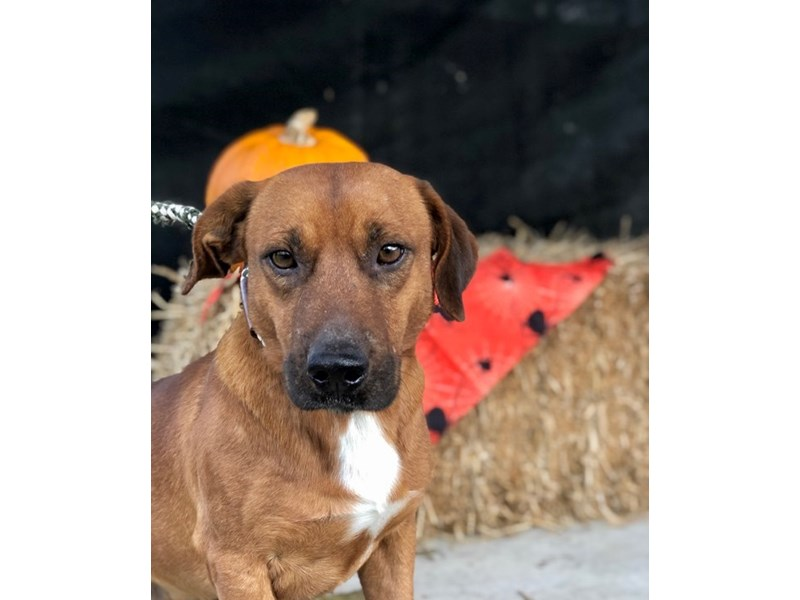 Mixed Breed-DOG-Male-Reddish Brown-2512040-img2