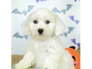 Cocker Spaniel/Coton De Tulear-DOG-Male-WHITE/BUFF-2514121