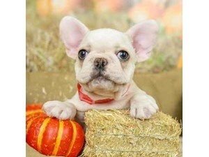 French Bulldog-DOG-Male--2513975