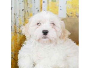 Teddy Bear-DOG-Male-White-2471179