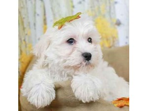 Teddy Bear-DOG-Male-White-2471180